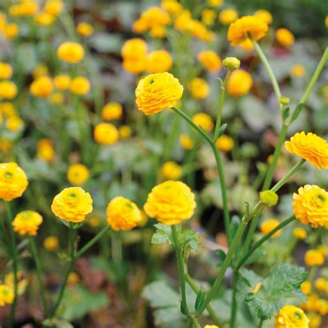 Ranunculus acris Flore Pleno from Mr Fothergill's Seeds